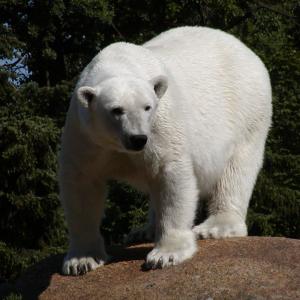Eisbär - Berliner Zoo 2003