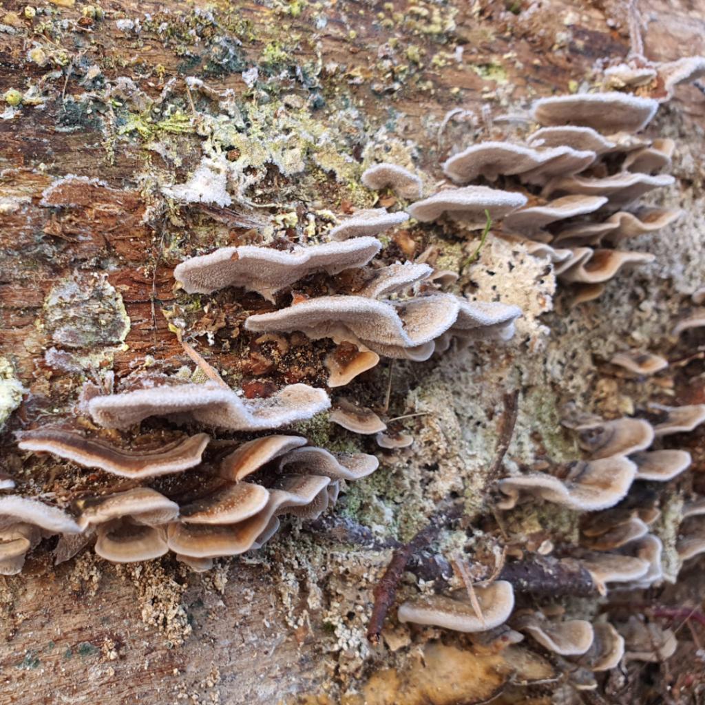Waldspaziergang Brieselang - Dezember 2020 - Pilze am Baumstamm