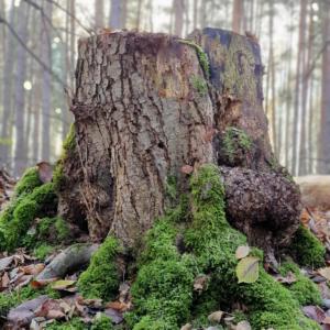 Waldspaziergang Brieselang - Dezember 2020 - Baumstumpf