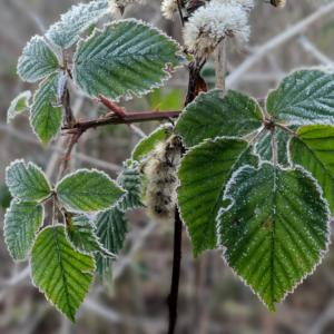 Waldspaziergang Brieselang - Dezember 2020 - Sandbrombeere im Winter