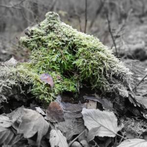 Waldspaziergang Brieselang - Dezember 2020 - Blätter mit Moos