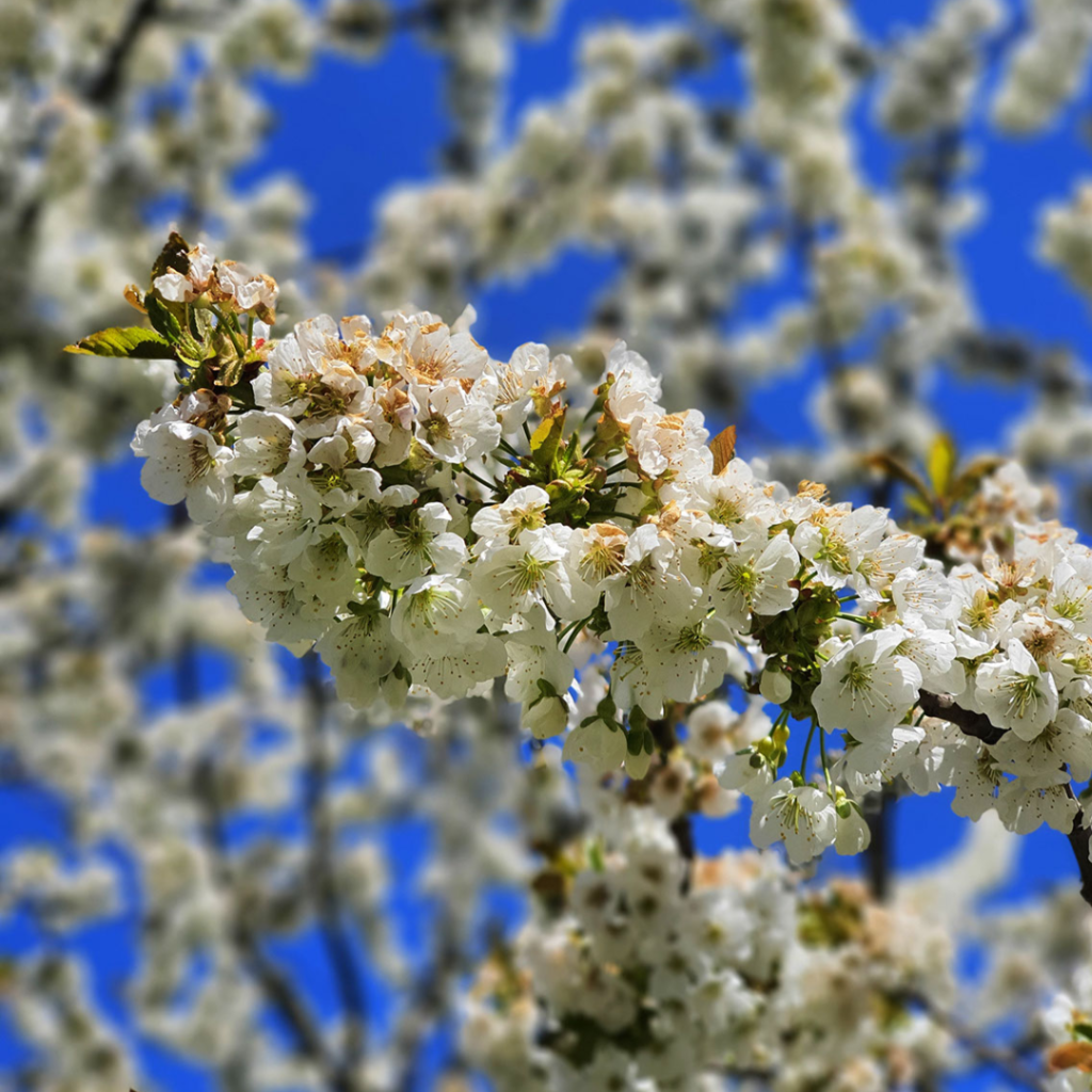 Kirschblüte April 2020