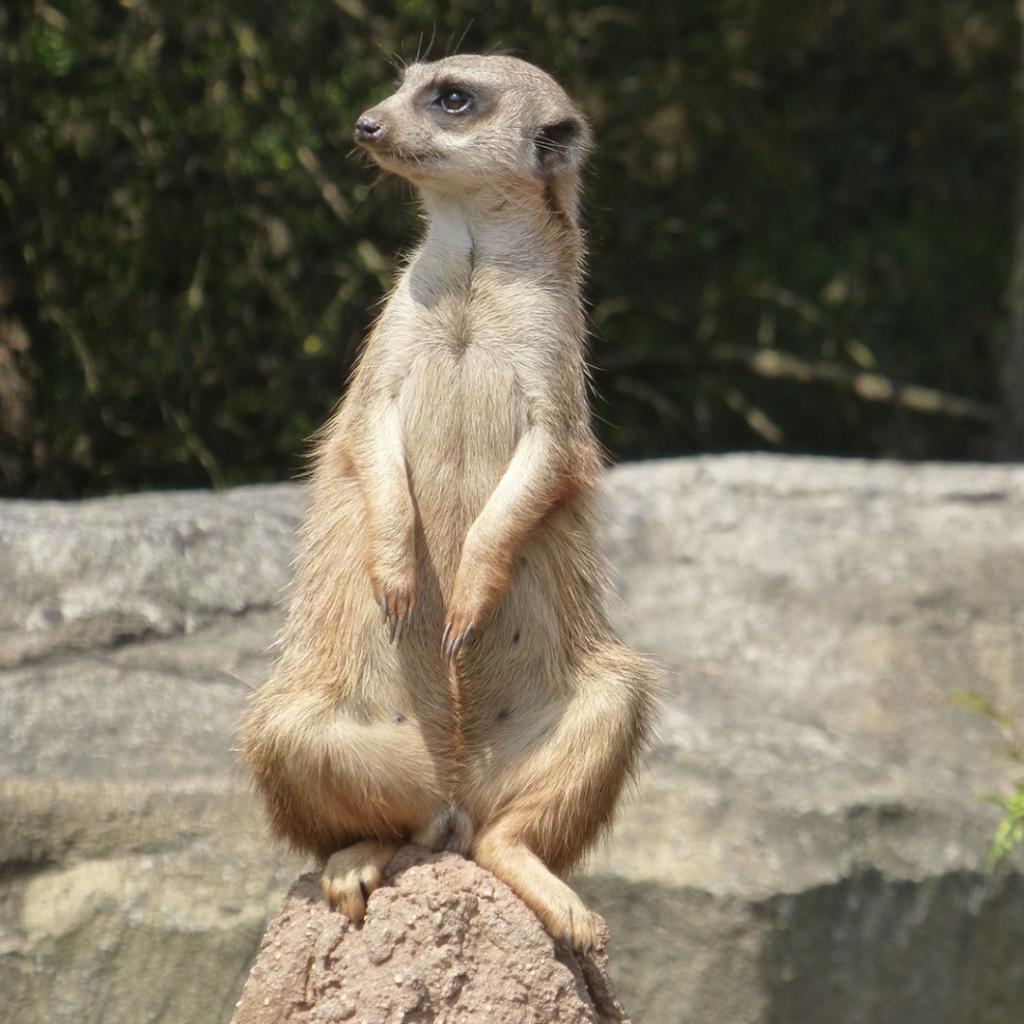 Zoo Leipzig Juli 2015 - Erdmännchen