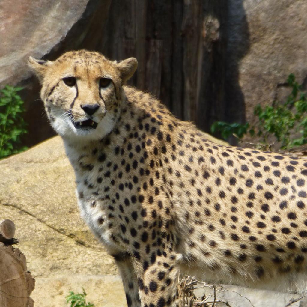 Zoo Leipzig Juli 2015 - Gepard